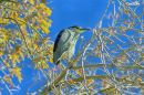 BLACK_CROWN_NIGHT_HERON_2017_WM_RS_0001.jpg