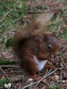 Red-Squirrell.jpg