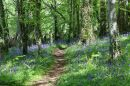 Forest_Bluebells_800.jpg