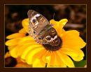 Buckeye_N_D_600_Sigma_105_Macro_HH_RF_060916_9380.jpg